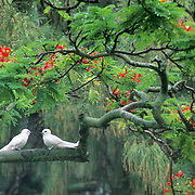 White or Fairy Tern, (Gygis alba) In Flamboyant Tree, (Delonix regia) Midway Island, Hawaii.