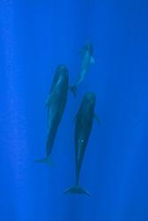 short-finned pilot whales and calf, Globicephala macrorhynchus, Hawaii, Pacific Ocean