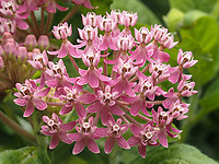 Swamp Milkweed in The Ramble of Central Park, Aug. 7, 2021.