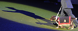 © Licensed to London News Pictures. 11/03/2012.  Air Dog Buster and Flight Sergeant Michael Barrow leave the NEC Arena at the 2012 Crufts after picking up the Friends for Life Award.  Buster was responsible for the detection of two improvised explosive devices whilst serving in Afghanistan and with quite a few operational tours behind him he will now be retiring from service.   Photo credit: Alison Baskerville/LNP