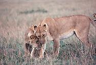 Lion Cubs,  Maasai Mara National Reserve, Kenya