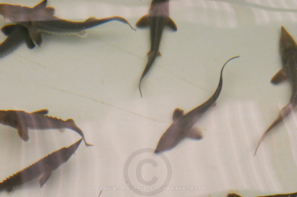 "A fish farm nursery dam pond tank for breeding sturgeon with small young fish fry spawn. Baby sturgeons  ""Caviar et Prestige"" Saint Sulpice et Cameyrac  Entre-deux-Mers  Bordeaux Gironde Aquitaine France - at Caviar et Prestige"