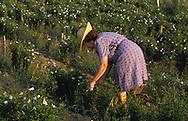 Plucking the centinolia rose on Biancalana's fields
