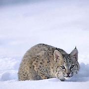 Bobcat, (Lynx rufus) In snow. Rocky mountains. Montana.  Captive Animal.