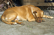 Boxer at rest