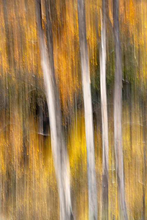 Limited Editions of 8<br /> Autumn Trees Blurs Hailey Idaho - Aspen Trees backlit and golden in motion.