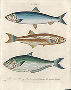 Clupea The common Herring The silver striped Herring and the African Herring Handcolored copperplate engraving From the Encyclopaedia Londinensis or, Universal dictionary of arts, sciences, and literature; Volume IV;  Edited by Wilkes, John. Published in London in 1810