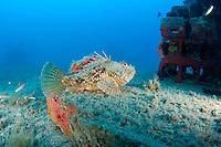 Red scorpionfish (Scorpaena scrofa) lying on the artificial reef, Larvotto Marine Reserve, Monaco, Mediterranean Sea<br /> Mission: Larvotto marine Reserve