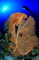 12/Noviembre/2019 Egipto. Mar Rojo.<br /> Una buceadora posa junto a una rama de coral de fuego en el Mar Rojo.<br /> <br /> © JOAN COSTA