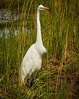 Great Egret. Chobe river, Botswana.  Image taken with a Nikon 1 V3 camera and  70-300 mm VR lens.
