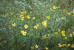 Atriplex halimus with Bidens aurea 'Mellow Yellow'