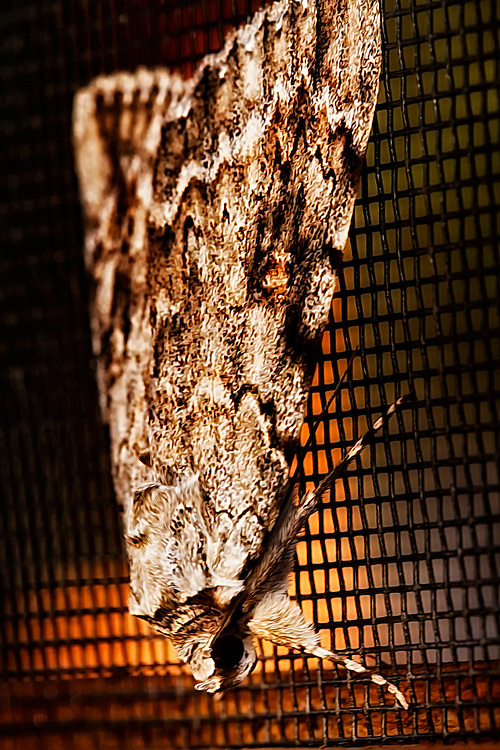 This moth was hanging out on the screen of my gazebo. The face of this moth reminds me of a bat.