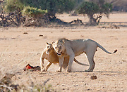 Lion and Lioness together after eating a morning kill in Amboseli National Park, Kenya