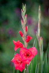 Gladiolus 'Beryl'