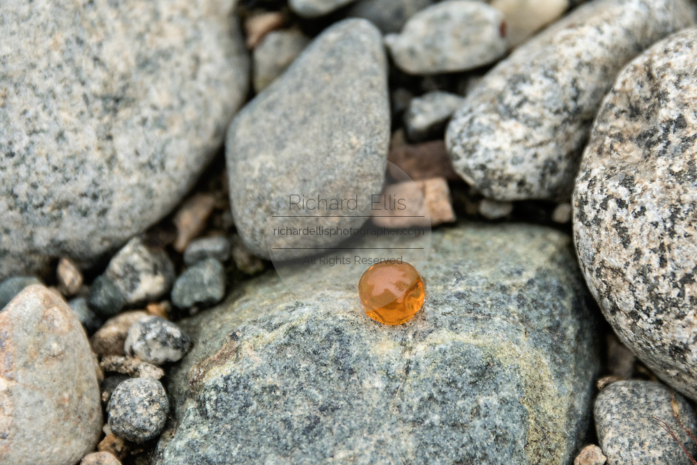 A chum salmon roe egg on the rocks at the McNeil River State Game Sanctuary on the Kenai Peninsula, Alaska. The remote site is accessed only with a special permit and is the world's largest seasonal population of brown bears in their natural environment.