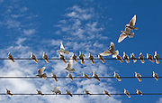 A group of white pigeons landing on some telephone wires against a blue cloudy sky.