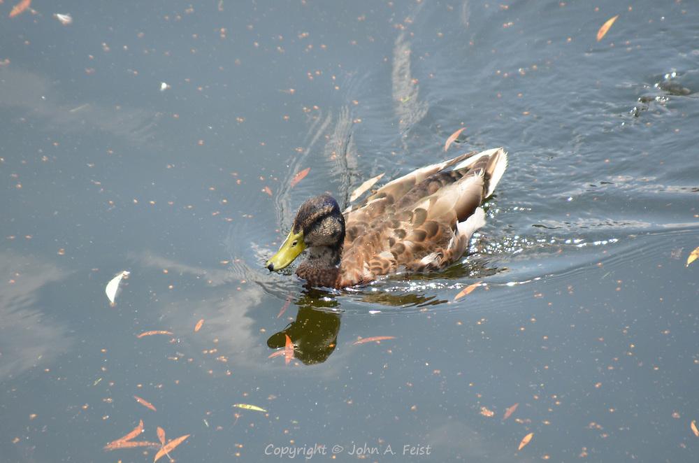 A duck going for a swim in the Boston Public Garden, Boston, MA