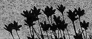 shadow of flowers.
