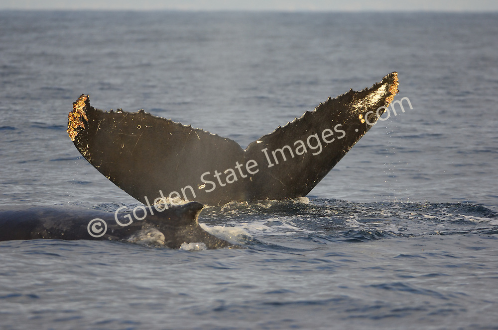 Mother raises fluke in preperation for a dive. Calf dorsal fin and back passing from right to left.   <br /> <br /> As with many of the large baleen whales the Humpback was hunted to near extinction before a whaling moratorium was introduced in the mid nineteen sixties.  <br /> <br /> Humpbacks are rarely seen off the Southern California coast. <br /> <br /> Range: Can be found nearly worldwide. In the Pacific from the Bering Sea to Southern Mexico and Hawaii. <br /> <br /> Species: Megaptera novaeangliae
