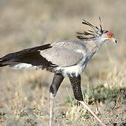 Secretarybird, (Sagittarius serpentarius) Foraging for insects and lizards in the Kalahari Desert. Africa.