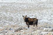 Shira's moose wintering in sagebrush steppe ecosystem in Wyoming
