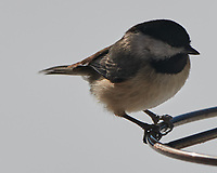 Black-capped Chickadee (Poecile atricapillus). Image taken with a Nikon D850 camera and 500 mm f/4 VR lens.