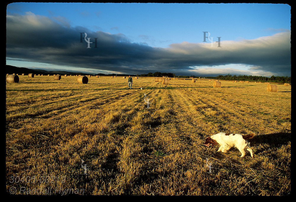 Man runs two dogs in Field of the English where royal troops were buried after the battle of Apr 16, 1746; Culloden Moor, Scotland