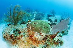 symmetrical brain coral, Diplora strigosa, .and gorgonians, Captain Keith's Reef, .Key Biscayne, Miami, Florida (Atlantic).