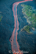 aerial view of lava river, emanating from east rift zone of Kilauea Volcano, erupting from fissure 8 in Leilani Estates subdivision, near Pahoa, flowing as a river of lava to Kapoho, Puna District, Hawaii ( the Big Island ), Hawaiian Islands, U.S.A.