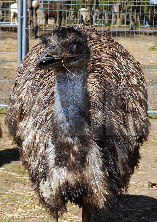 © Licensed to London News Pictures. 28/04/2015<br />  Moo the Emu.<br /> Second Chance Animal Rescue (SCAR) in Crockenhill,Kent have just taken delivery of two Emu's. Moo who is male and 3 years old and the smaller Emu Zayla an 8 month old female. both have been rescued from a private property in Dartford,Kent after SCAR received a call for help from the owner.<br /> Bromley Council have placed a 6 month eviction order on the animal rescue chairty to remove sheds and buildings that house rescued animals.<br /> (Byline:Grant Falvey/LNP)
