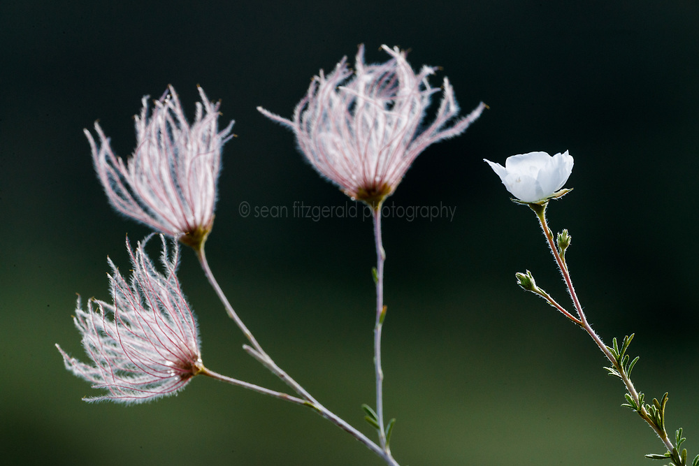 Apache plume, Ladder Ranch, New Mexico, USA.