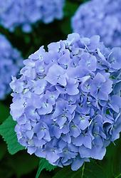 Hydrangea macrophylla 'Blue Bonnet'  ( Hortensia )