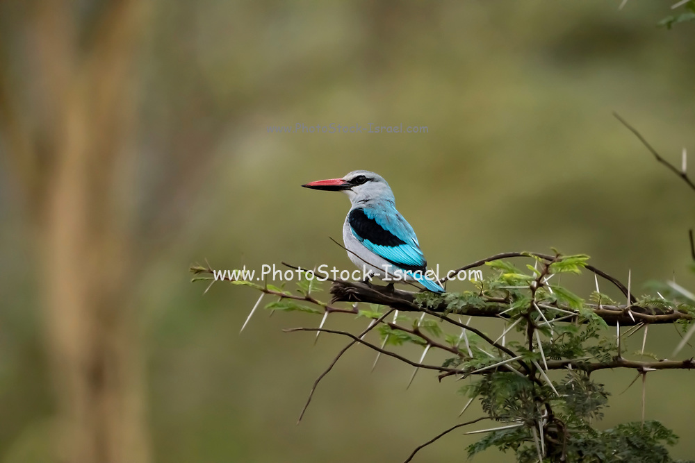 Woodland kingfisher (Halcyon senegalensis). The woodland kingfisher inhabits dry woodland habitats in the tropics between the Sahara and South Africa. It feeds mainly on insects and other invertebrates including fish and snakes. It is extremely territorial and has been known to attack humans. Photographed at the Ngorongoro Conservation Area, Tanzania in April
