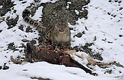 LADAKH, INDIA - DECEMBER 2: Adult male snow leopard licks his lips while standing over dead male blue sheep.