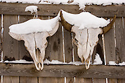 Cattle skulls with snow on wooden fence