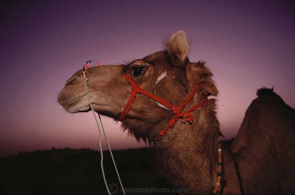 A camel at dusk at the Mallinath Fair, one of the biggest cattle fairs of Rajasthan that lasts for two weeks. It is held annually in the desert near Tilwara, a village in Rajistahan (March-April). Highly popular breeds of cows, camels, sheep, goats and horses attract people not only from Rajasthan but also Gujarat and Madhya Pradesh. Rajasthan, India. .