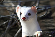 Long-tailed weasel (winter coat) in habitat.