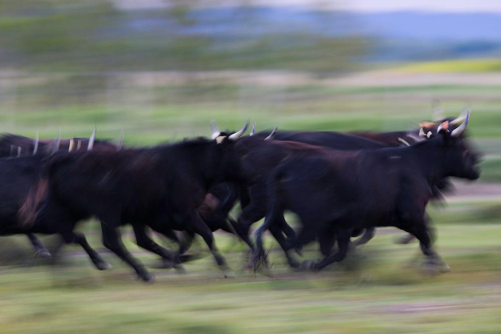 Camargue bulls running in pasture, Camargue, France; motion blur