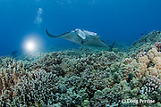 scuba diver and manta ray, Manta birostris, at cleaning station on coral reef, Maui, Hawaii ( Central Pacific Ocean )