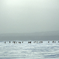 NORTHWEST TERRITORIES, CANADA. Migrating caribou herd on frozen Great Slave Lake.