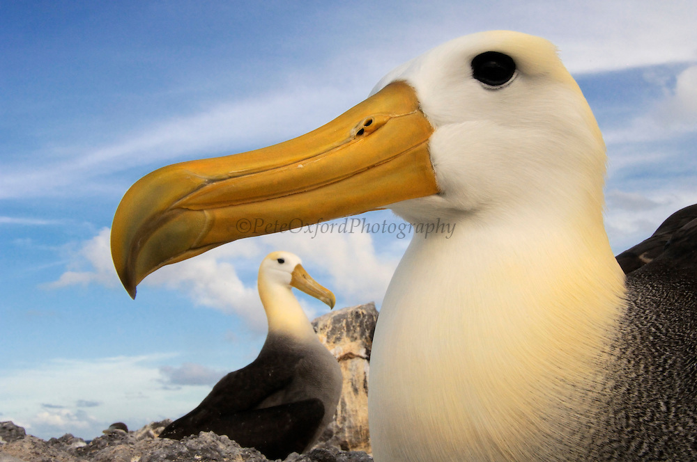 Waved Albatross (Phoebastria irrorata)<br /> Punta Cevallos, Española Island, GALAPAGOS ISLANDS<br /> ECUADOR.  South America<br /> ENDEMIC TO GALAPAGOS. <br /> CRITICALLY ENDANGERED<br /> However a few pairs nest on Isla de la Plata near the Ecuadorian mainland. +-12,000 pairs breed on the Island of Española in Galapagos. They only come ashore between April and December to breed, otherwise they spend their entire life at sea. Once an albatross chick fledges and goes to sea it will remain there until it is 4 years old before returning to land to breed for the first time. Albatross mate for life and live about 40 years. They form part of the family of tube-nosed birds.