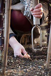 Planting Tulip 'Menton' in the Kale bed using a bulb planter