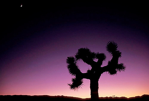 Scenic view of Joshua Tree in Death Valley National Park, CA<br />