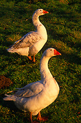 A3AAW5 White Embden domestic geese in late afternoon winter sun