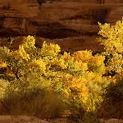 Cottonwoods in their autumn best in Canyon de Chelly National Monument on the Navajo Reservation in Arizona. .