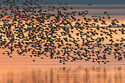 Thousands of Western Sandpipers (Calidris mauri) fly in tight formation over Skagit Bay, located in Skagit County, Washington.