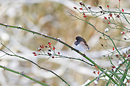 A Dark-eyed Junco (Junco hyemalis) perched on a rose branch in the Fraser Valley of British Columbia, Canada