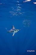 striped marlin, Kajikia audax (formerly Tetrapturus audax ), feeding on baitball of sardines or pilchards, Sardinops sagax, off Baja California, Mexico ( Eastern Pacific Ocean ) #1 in sequence of 5 images