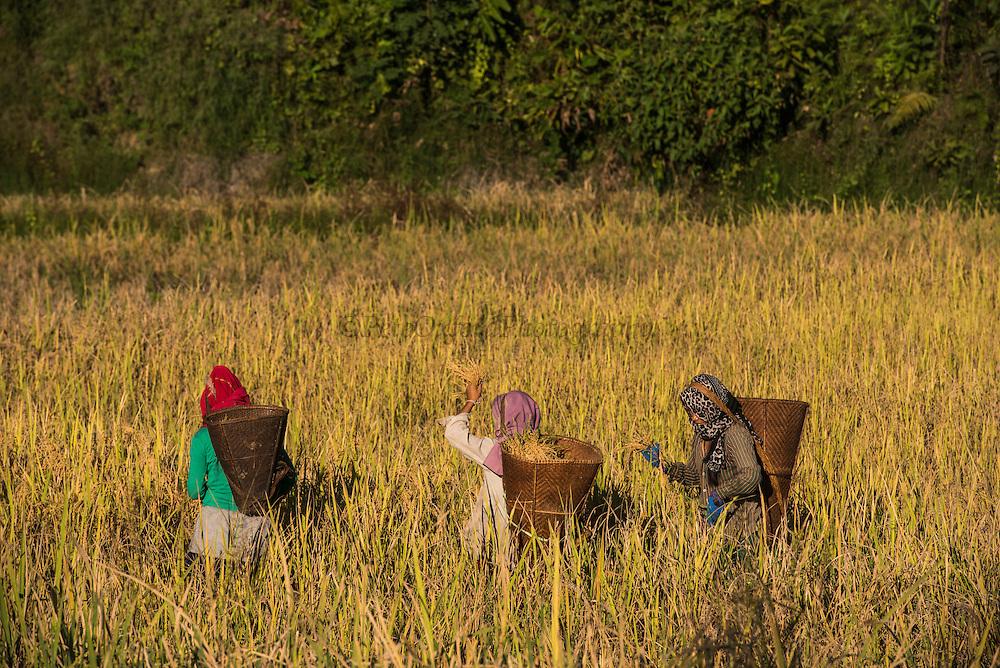 Adi Gallong harvesting rice<br /> Adi Gallong Tribe<br /> Arunachal Pradesh<br /> North East India