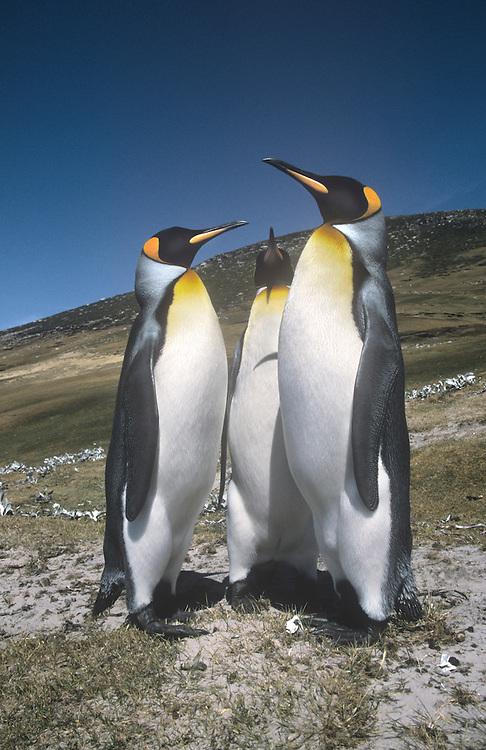 King Penguins - Apternodytes patagonica